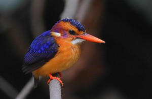 African Pygmy-Kingfisher, Ispidina picta