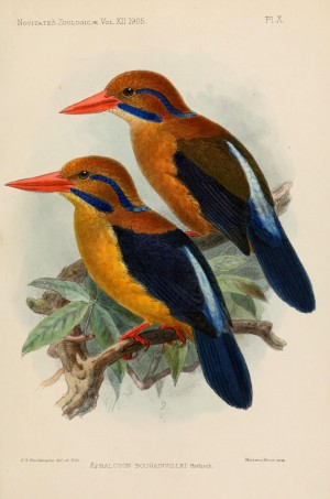 Moustached Kingfisher, Actenoides bougainvillei