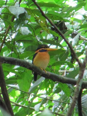 Rufous-collared Kingfisher, Actenoides concretus