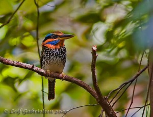 Spotted Kingfisher, Actenoides lindsayi