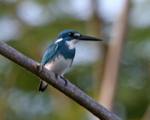 Small Blue Kingfisher, Alcedo coerulescens