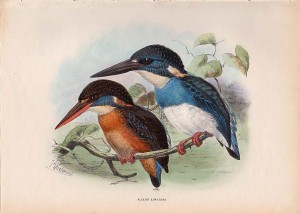 Blue-banded Kingfisher, Alcedo euryzona