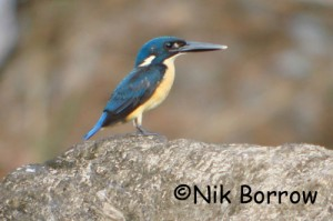 Bismarck Kingfisher, Ceyx websteri