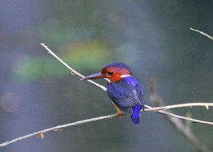 White-bellied Kingfisher, Corythornis leucogaster