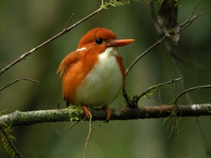 Madagascar Pygmy-Kingfisher, Corythornis madagascariensis