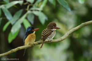 Banded Kingfisher, Lacedo pulchella