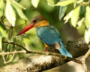 Stork-billed Kingfisher, Pelargopsis capensis