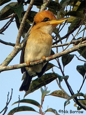 Mountain Kingfisher, Syma megarhyncha