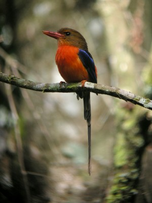 Brown-headed Paradise-Kingfisher, Tanysiptera danae