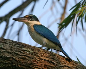Collared Kingfisher, Todiramphus chloris