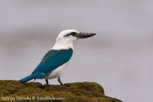 Beach Kingfisher, Todiramphus saurophagus